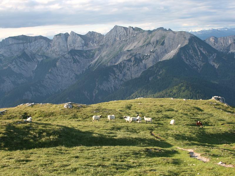 Schafe auf der Weide in der Karwendelregion am Achensee